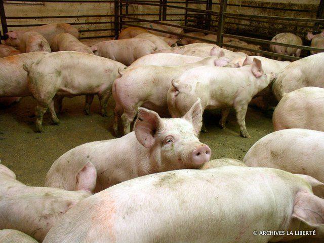 Dans une étable, la diarrhée épidémique porcine peut faucher tous les porcelets âgés de trois à cinq semaines.